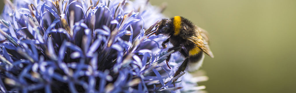 Bumble bee on thistle - image