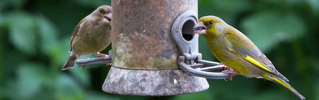 Greenfinches feeding - image